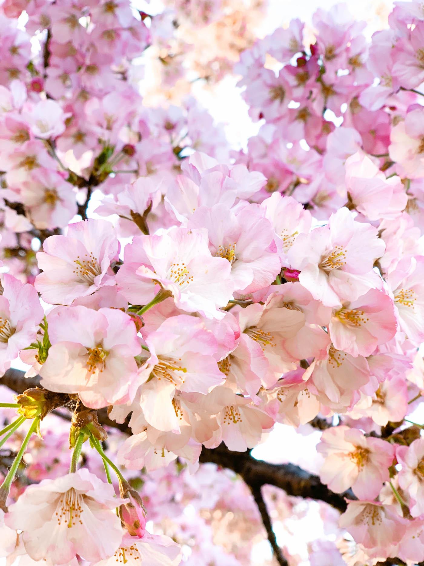 washington dc cherry blossoms